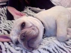 Sleepy Frenchie