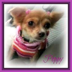Poppy is an adoptable Chihuahua Dog in McCordsville, IN. 'Poppy is the most beautiful Chihuahua I have ever seen!', reports Poppy's Foster Mom. Poppy's hair is a bright Orange/Red color, like the Popp...