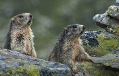 Murmeltiere, Katschberg ------------------- Marmots, Katschberg Brown Bear, World, Holiday, Summer, Animals, Ski Trips, Winter Vacations, Summer Vacations, Family Activity Holidays