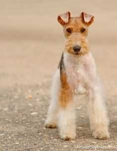 Lil' Dog Whisperer: The Wire Fox Terrier ~ Show Stopping Pooch