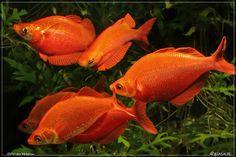 Red salmon rainbow fish
