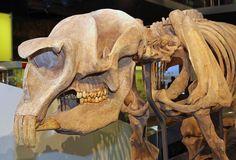 Meet Diprotodon, the Three-Ton Prehistoric Wombat: Diprotodon Ranged Across the Expanse of Australia