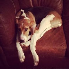 Treeing Walker Coonhound Dog Breed Information - American Kennel Club