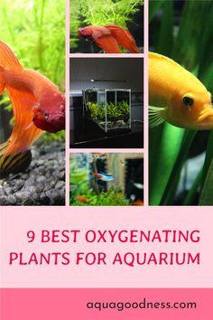 In this blog post, I have enlisted the best oxygenating plants for your aquarium or pond. Most of these plants are very easy to maintain. #aquariumplants #liveaquariumplants #aquarium #freshwateraquarium Freshwater Aquarium Plants, Live Aquarium Plants, Planted Aquarium, Live Plants, Floating Plants, Nano Tank, Fast Growing Plants, Liquid Fertilizer, Hardy Plants