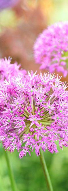 Top florida plants allium drought tolerant and pink purple allium purple sensation allium flower flowers garden gardens gardening mightylinksfo Image collections