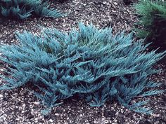 Blue Star Juniper If you are interested in foliage shrubs, Blue Star Juniper is your best option of small evergreen shrubs. Consider this shrub a shorter, more compact version of Blue Spruce Trees because it has a similar appearance to the latter. While Blue Star has no flowers, its spiky blue needle-like leaves make up for the absence of these in a very grand manner. Resembling a bush, Blue Star is a dwarf plant that doesn't grow more than 2 feet tall, making it an excellent choice for a…