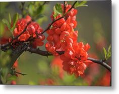 Passionate Red Of Chinese Quince Metal Print by Jenny Rainbow. All metal prints are professionally printed, packaged, and shipped within 3 - 4 business days and delivered ready-to-hang on your wall. Choose from multiple sizes and mounting options. Art Prints For Home, Home Art, Fine Art Prints, All Flowers, Beautiful Flowers, Dusk Sky, Poster Prints, Framed Prints, Got Print