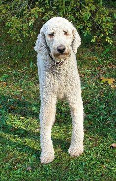 standard poodle groomed