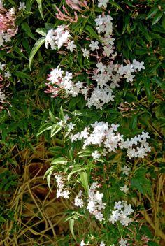 Ein weißer Jasmin mit Echtheitssiegel – auf frischem Boden mitten im Licht stehend.