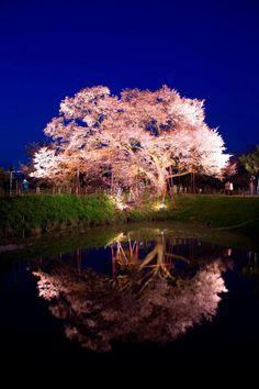 Cherry Blossom, Fukuoka, Japan via Pashadelic
