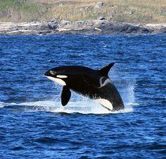 L25, Ocean Sun. Mother of captive orca, Lolita