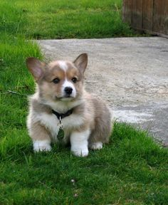 Picture of Pembroke Welsh Corgi Dog Breed Corgi Dog Breed, Pembroke Welsh Corgi Puppies, Dog Breeds, Cute Puppies, Cute Dogs, Dogs And Puppies, Poodle Puppies, Teacup Puppies, Cute Babies