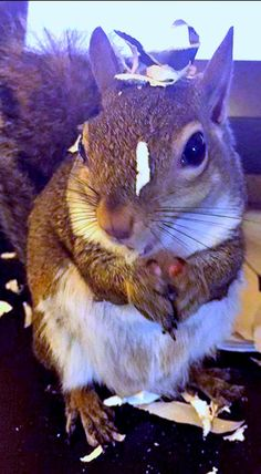 My hooman will not be HACKED! I'm shredding all her documents. ~ Jill, the Rescue Squirrel