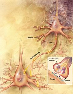 Kids learn about the science of the Nervous System in the human body. Brain, spinal cord, and nerves communicate. Fibromyalgia Pain, Chronic Pain, Fibromyalgia Syndrome, Chronic Illness, Neuroplasticity, Scripture Study, Scripture Reading, Daily Scripture, Bible