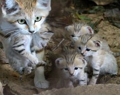 Sand cats  The smallest of all wild cats, sand cats are the size of domestic cats and are found in the deserts of northern Africa and central Asia. Because the animals live in vast, arid locations, they're difficult to study and population estimates aren't available. Sand cats are threatened by habitat loss, hunting and collection for pet trade. The species went extinct in Israel due to habitat destruction following the territorial exchange between Israel and Jordan in 1994