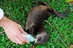 Filhote de Lontra recebe tratamento especial no Passeio Público. Os cuidados com a lontra vão desde a alimentação até os banhos e passeios. Curitiba, 28/02/2007 Foto: Ivan Bueno/SMCS