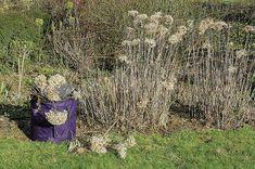 Couper les rameaux, tailler les tiges âgées, raccourcir et harmoniser la silhouette cet arbuste à fleurs : tailler l'hortensia au jardin d'ornement. Plantation, Hiking Boots, Outdoor Decor, Green, Silhouette, Multiplication, Gardening, Nature, Gardens