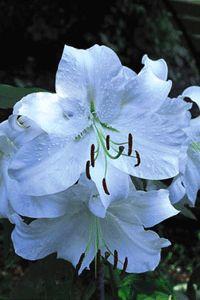 Fyll trädgården med liljor så får du blomsterprakt långt in på hösten.
