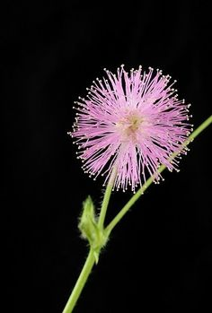 Mimosa: So Sensitive great for teaching kids about science of plants. Grow from . Mimosa: So Sensi Flower Landscape, Landscape Photos, Love Flowers, Beautiful Flowers, Love Garden, Flowering Trees, Flower Seeds, Amazing Gardens, Trees To Plant