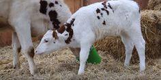 """""""O Grito do Bicho"""": Vídeo mostra como uma vaca e seu bebê deveriam viv..."""