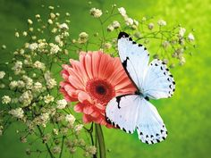 butterfly pictures | ... Butterfly Background Wallpapers on this Butterfly Background