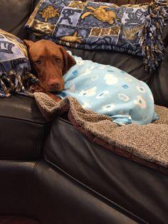 Blankie me jake - JJ Vizsla Puppies, Cute Puppies, Vizsla Dog, Pet Dogs, Dog Cat, Doggies, Baby Animals, Cute Animals, Cute Creatures