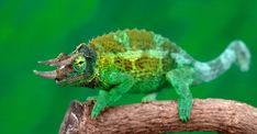 Top 5 Different Types of Chameleons - Kopf Types Of Chameleons, Veiled Chameleon, Jackson's Chameleon, Bear Hamster, Forest Habitat, Different Types, The Jacksons, Reptiles And Amphibians, Exotic Pets