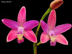 Cattleya hispidula