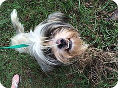 Dothan, AL - Lhasa Apso. Meet Baxter, a dog for adoption. http://www.adoptapet.com/pet/13850978-dothan-alabama-lhasa-apso