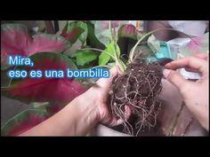 Caladium - Cómo Propagar - YouTube Youtube, Dreadlocks, Hair Styles, Beauty, Gardening, Garden, Bulbs, Plant Pots, Plants