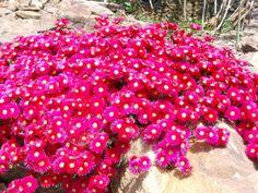 Lampranthus als Bodendecker für coole Gartengestaltung