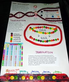 Honors Biology @ Lawrenceville: Samples of Student Work - Poster Showing Transcription & Translation
