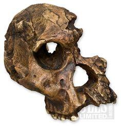Australopithecus africanus- STS 71