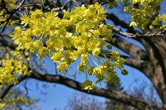 Vaahteran kevät
