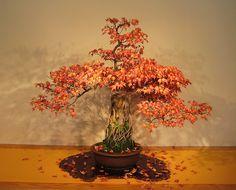Bonsai Tree - Autumn Colors