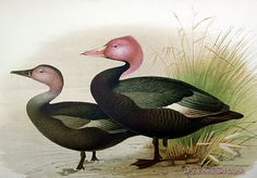 Pink-Headed Duck | Pink-Headed Duck, Rhodonessa caryophyllacea