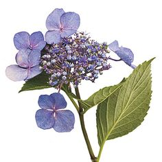 French Hydrangea: Lacecaps - Gardening 101: French Hydrangeas - Southern Living