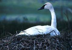 Trumpeter Swan, Nesting, Bird, Nest, Waiting, White