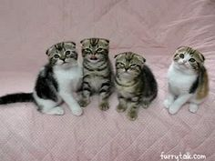 Adorable Scottish Fold Kittens [funny gif]