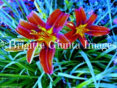 "2015 Color: Lily Order #20150716040 Wasaga Beach, Ontario. Available in  5""x7"" CAD $20.00 8""x10"" CAD $35.00 11""x14"" CAD $45.00 16""x20"" CAD $75.00 24""x36"" CAD $95.00 FREE SHIPPING Payment by https://www.paypal.me/BGiunta or email transfer brigittegiuntaimages@gmail.com email me or pm me to order. I can also send you an invoice from my paypal which can be paid by credit card. Check out this magazine online. It features some of my photos Pages 24-25, 92-93, 232-233, 238-239 and so on. Some of…"