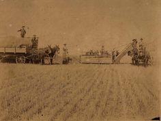 Harvesting wheat in Harvey County, 1895.  Photo taken by L. Scott, Photographer, Kansas.