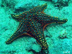 Starfish near Cano Island Sea Urchin Shell, Sea Shells, Medusa, Beautiful Creatures, Animals Beautiful, Sea Queen, Song Of The Sea, Life Under The Sea, Deep Blue Sea