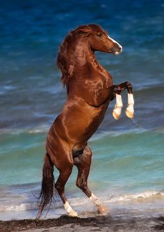 Horse Photography - Stallion rearing on the beach. Beautiful shiny coat and pretty blue ocean. I love the windy look.