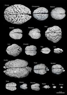 Variability of brain size and external topography. Photographs and weights of the brains of different species. Primates: human (Homo sapiens, 1.176kg), chimpanzee (Pan troglodytes, 273g), baboon (Papio cynocephalus, 151g), mandrill (Mandrillus sphinx, 123g), macaque (Macaca tonkeana, 110g). Carnivores: bear (Ursus arctos, 289g), lion (Panthera leo, 165g), cheetah (Acinonyx jubatus, 119g), dog (Canis familiaris, 95g), cat (Felis catus, 32