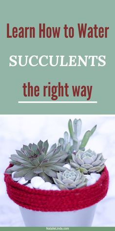 How to Water Succulents - the Right Way There's a right way to water succulents so that they remain healthy and vibrant. Learn how to water and when to water succulents so you can enjoy there beauty season after season! How To Water Succulents, Hanging Succulents, Succulents In Containers, Cacti And Succulents, Hanging Plants, Indoor Plants, Watering Succulents, Air Plants, Growing Succulents