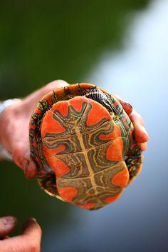Chrysemys picta bellii, Western Painted Turtle, Davis County, Utah~ D Sharon Pruitt