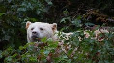 Spirit Bear, Rainforests, Brown Bear, British Columbia, Polar Bear, In This World, Coastal, Swarovski, Animals
