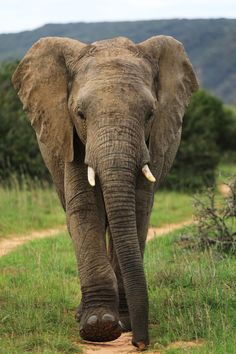 Elephant with determination - null
