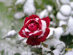 Rosa na Neve