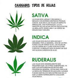 Existen 3 especies de marihuana... - http://growlandia.com/highphotos/media/existen-3-especies-de-marihuana/